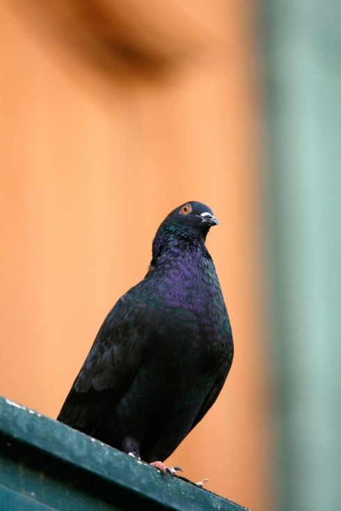 cops-find-pigeon-with-ecstasy-1495663685-640x960.jpg
